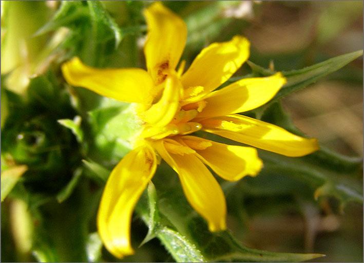 F_BLOM_0017_spaanse gouddistel_scolymus hispanicus