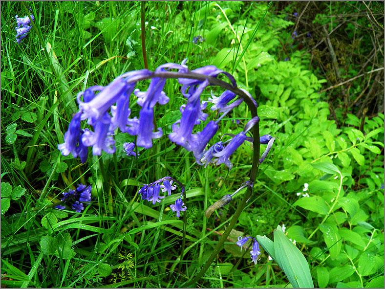 F_BLOM_0128_wilde boshyacint_hyacinthoides non scripta