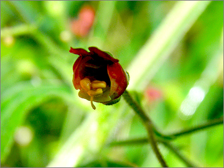 F_BLOM_0132_balm leaved figwort_scrophularia scorodonia