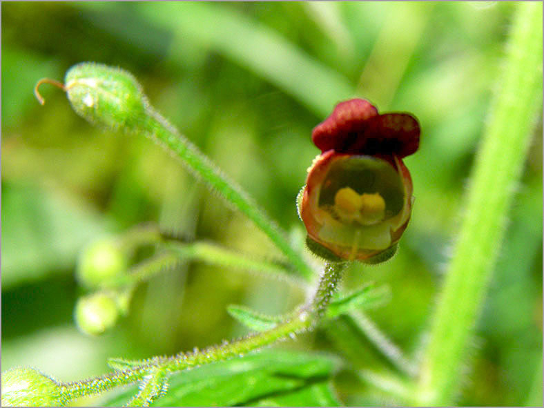 F_BLOM_0133_balm leaved figwort_scrophularia scorodonia