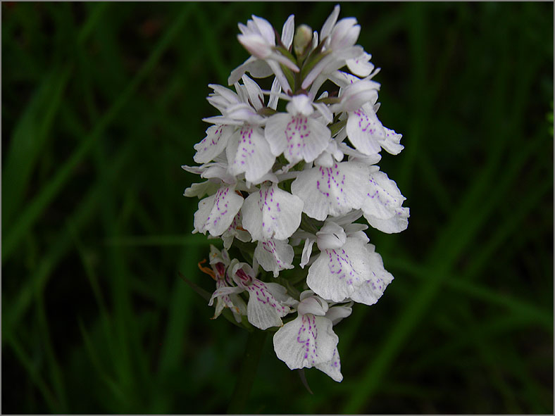F_BLOM_0194_gevlekte orchis_dactilorhiza maculata