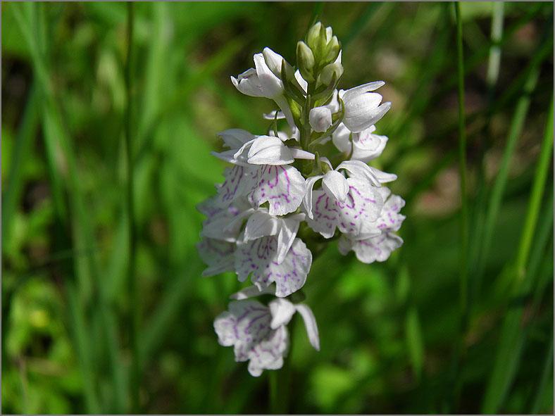 F_BLOM_0195_gevlekte orchis_dactilorhiza maculata