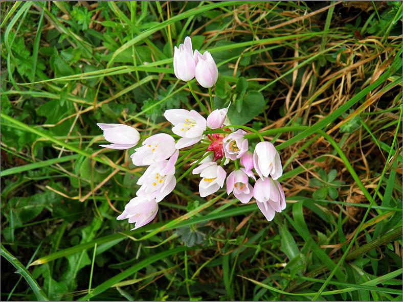 F_BLOM_0205_roze look_allium roseum