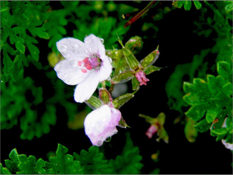 F_BLOM_0214_kleverige reigersbek_erodium lebelii subsp. marcuccii