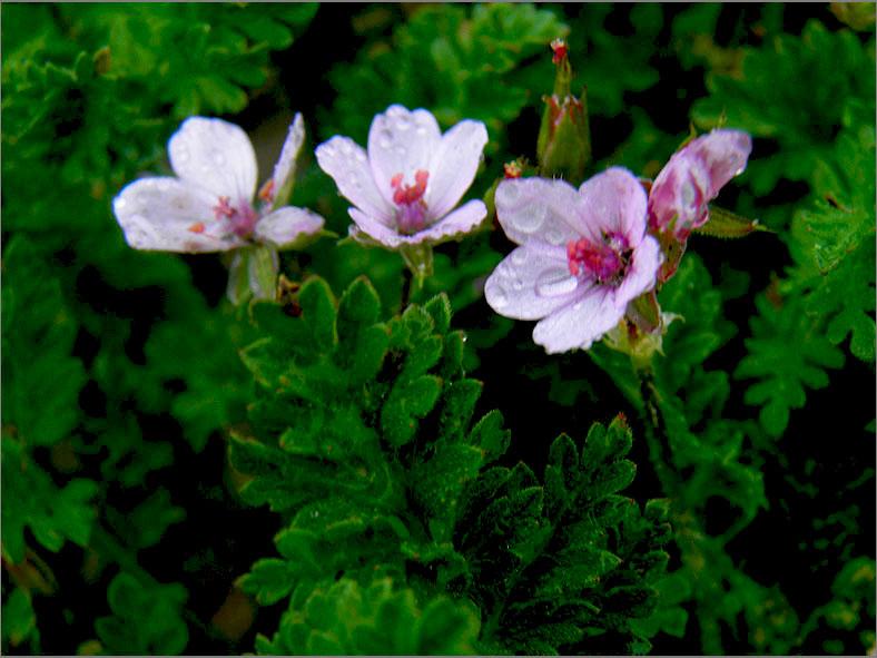 F_BLOM_0215_kleverige reigersbek_erodium lebelii subsp. marcuccii