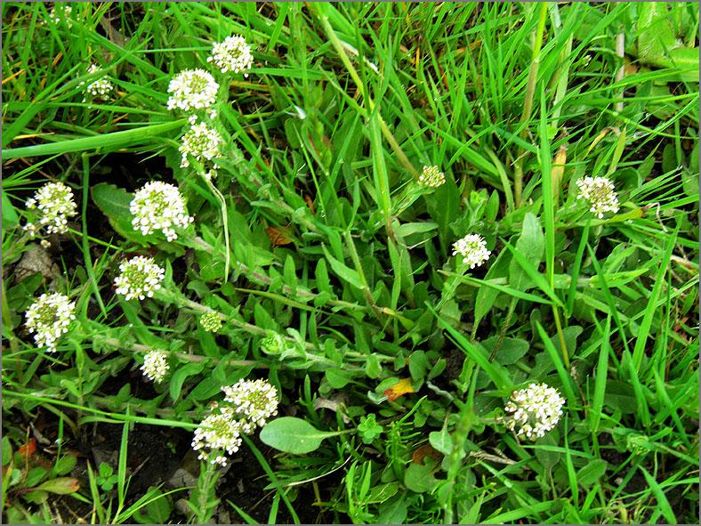 F_BLOM_0217_rozetkruidkers_lepdium heterophyllum