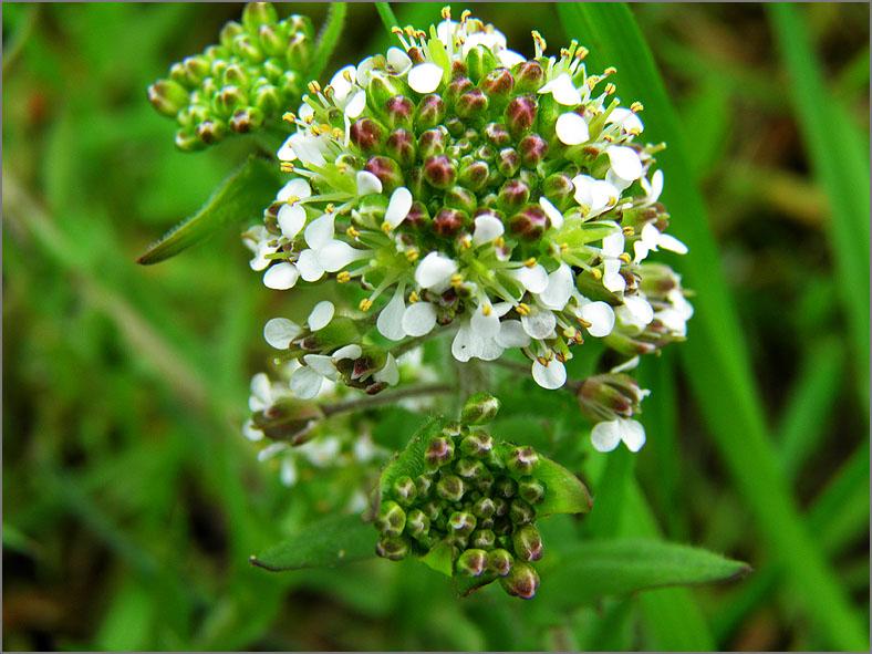 F_BLOM_0218_rozetkruidkers_lepdium heterophyllum