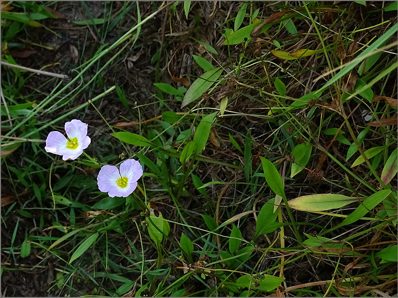 F_BLOM_0232_ stijve moerasweegbree_baldellia ranunculoides subsp.ranunculoides