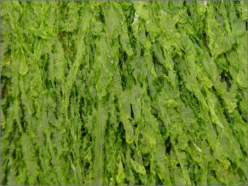 F_ZEEFL_0007_plat darmwier_algae sp