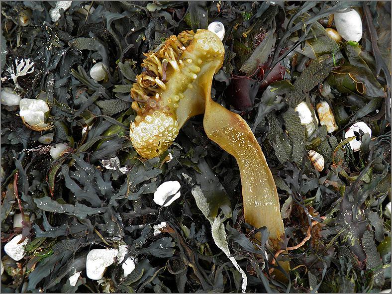 F_ZEEFL_0016_bolwier_algae sp