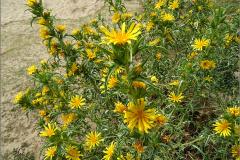 F_BLOM_0016_spaanse gouddistel_scolymus hispanicus