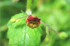 F_BLOM_0131_balm leaved figwort_scrophularia scorodonia