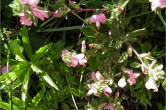 F_BLOM_0175_kruipend stalkruid_ononis repens  subsp. repens
