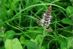 F_BLOM_0228_aarmunt_mentha spicata