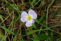 F_BLOM_0233_ stijve moerasweegbree_baldellia ranunculoides subsp.ranunculoides