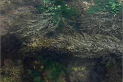 F_ZEEFL_0004_blaaswier_algae sp