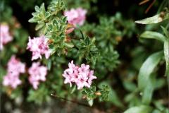 A_BLOM_0010_ gewone alpenroos_rhododendron ferrugineum