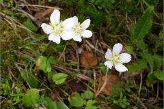 A_BLOM_0021_parnassia_parnassia palustris
