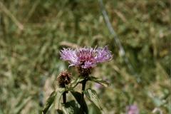 A_BLOM_0027 alpenknoopkruid_centaurea alpestris