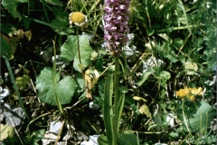 A_BLOM_0028 orchis_ orchis sp