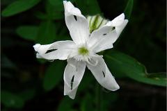 NL_ANJERF_0025_avondkoekoeksbloem_silene latifolia_subsp.alba