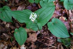 NL_ASPARA_0005_dalkruid_maianthenum bifolium