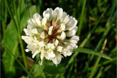 NL_VLINDR_0016_witte klaver_trifolium repens
