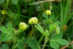 NL_VLINDR_0050_kleine klaver_trifolium dubium
