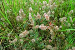NL_VLINDR_0055_hazenpootje_trifolium arvense