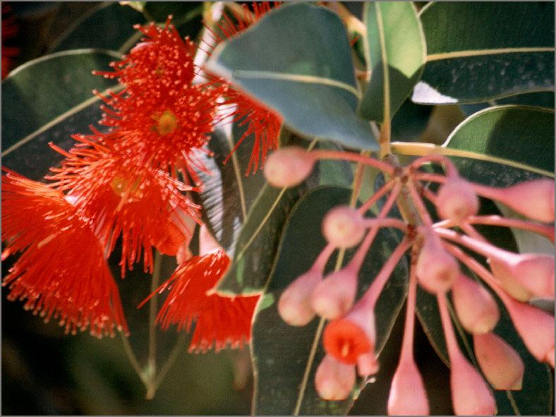 AUS _BMHE_0001_rode eucalyptus_corymbia ficifolia