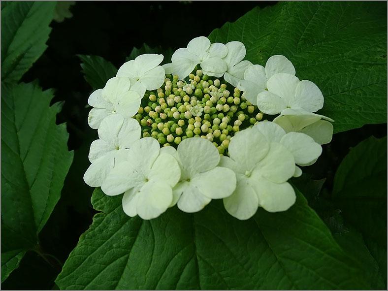 BMHE_0035_gelderse roos_viburnum opulus