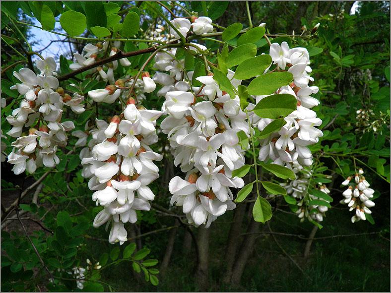 BMHE_0055_witte acacia_robinia pseudocacia