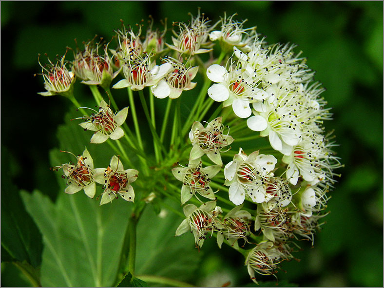 BMHE_0061_blaasspirea_physocarpus opulifolius