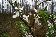 BMHE_0008_sleedoorn_prunus spinosa