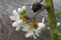 BMHE_0010_sleedoorn_prunus spinosa