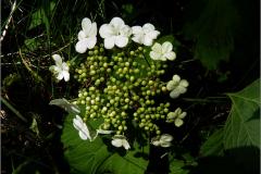 BMHE_0033_gelderse roos_viburnum opulus