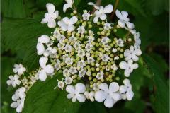 BMHE_0034_gelderse roos_viburnum opulus