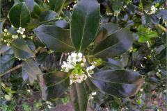 BMHE_0037_hulst_ilex aquifolium