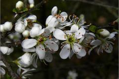 BMHE_0045_sleedoorn_prunus spinosa