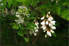BMHE_0056_witte acacia_robinia pseudocacia