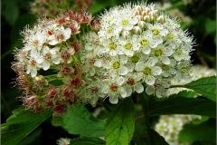 BMHE_0060_blaasspirea_physocarpus opulifolius