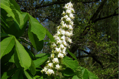 BMHE_0076_witte  paardenkastanje_aesculus hippocastanum