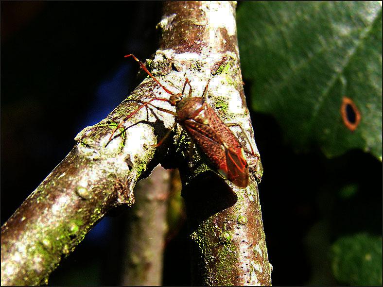 WAN_0034_pantilius tunicatus.