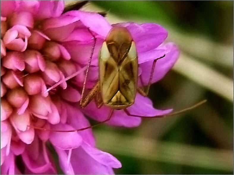 WAN_0041_adelphocoris lineolatus