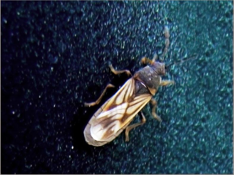 WAN_0045_heteroptera sp