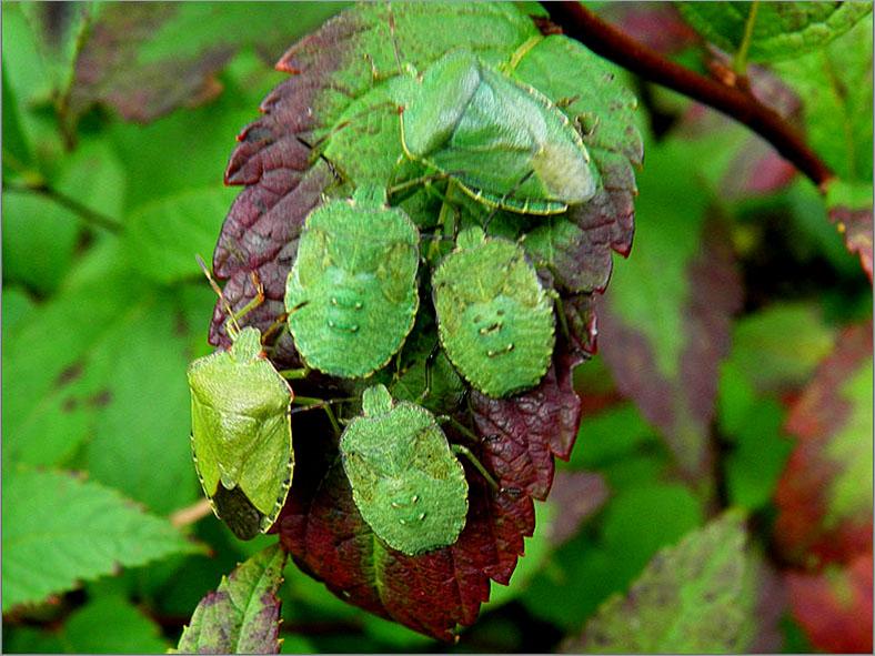 WAN_0135_groene stinkwantsen_palomena prasine