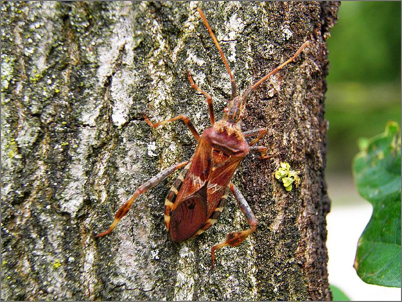 WAN_0232_bladpootrandwants_leptoglossus occidentalis