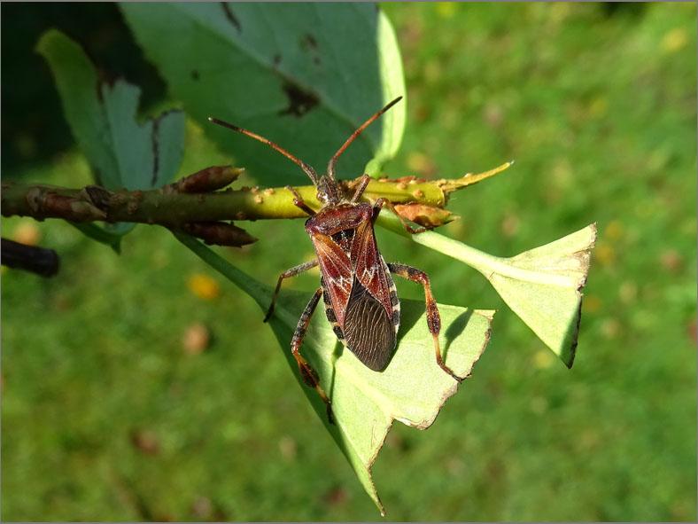 WAN_0234_bladpootrandwants_leptoglossus occidentalis