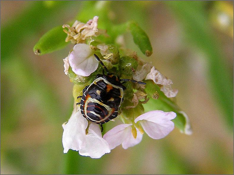 WAN_0276_eurydema herbacea.