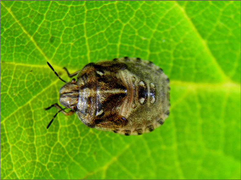 WAN_0298_heteroptera sp